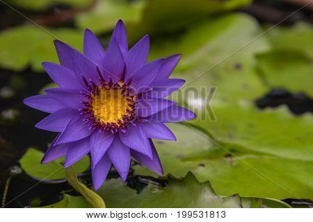 Lotus Flower (tropical Water-lily)