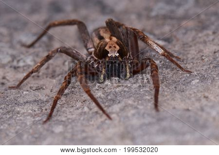 image of a wandering spider on the ground