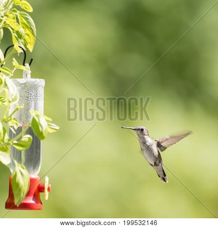 Female Ruby Throated Hummingbird hovering around her feeder