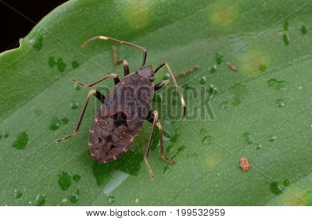 macro image of a mirid bug resting on green leaf