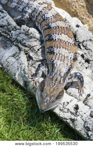 Blue-tongued skink or Blue-tongued Lizard on grass