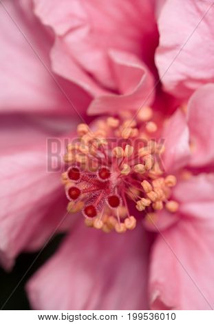 Close-up of a light pink Hibiscus flower
