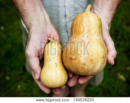 Hands holding a fresh butternuts