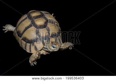 Egyptian Tortoise (Testudo kleinmanni) against black background also called Kleinmann's or Leith's Tortoise