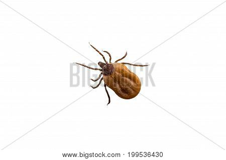 Tick Filled With Blood Crawling On White Background