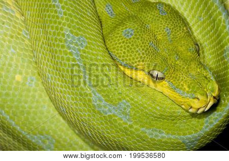 A large green snake curled around itself