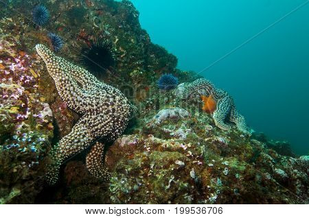Giant Spined Stars (Pisaster giganteus) in the Pacific Ocean, CA