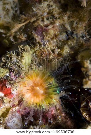 Brown Cup Coral (Paracythus stearnsi) in Pacific Ocean, CA