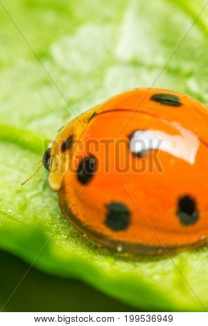 Macro Of Bug Insect (ladybug) On Leaf In Nature