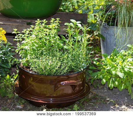 Several Herbs Like Basil And Other In A Old Decorative Pot.