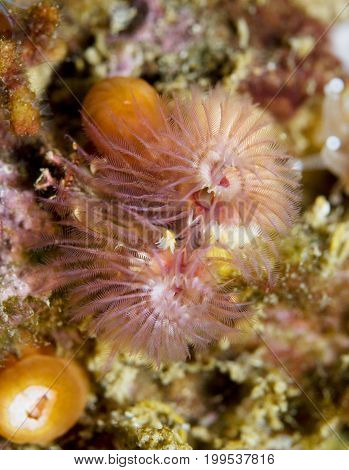 Christmas Tree worm (Spirobranchus spinosus) in the Pacific Ocean, California