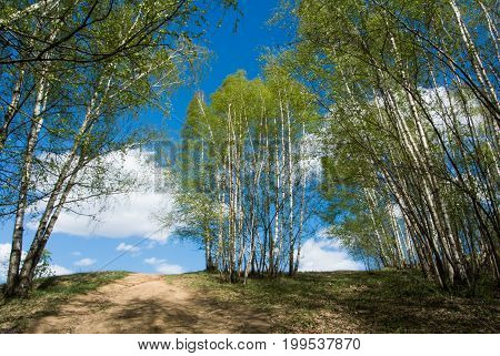 Beautiful colorful green summer landscape with a hiill and young birches and a blue sky with clouds at the background abstract iconic russian image Moscow Russia.