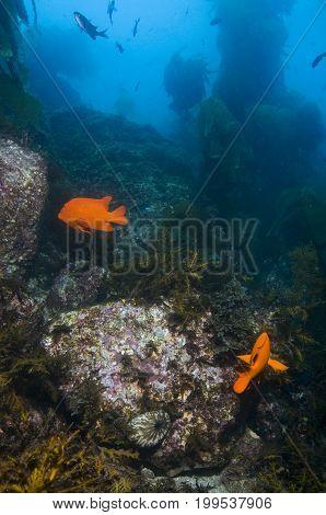 Adult Garibaldi damselfish (Hypsypops rubicundus) in rocky reef in Pacific Ocean, CA
