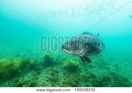 Black sea bass (Centropristis striata) in Channel Islands, Ca