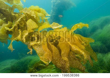 Giant Kelp Fronds off San Clemente island, CA