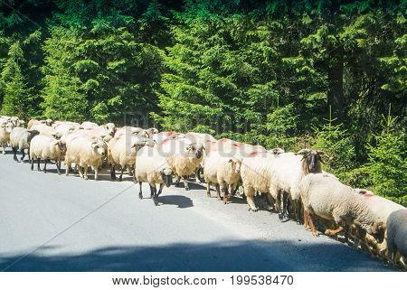 A Flock Of Sheep Crossing The Road In The Forest At The Mountains Of Bucegi Natural Park, Sinaia, Ro