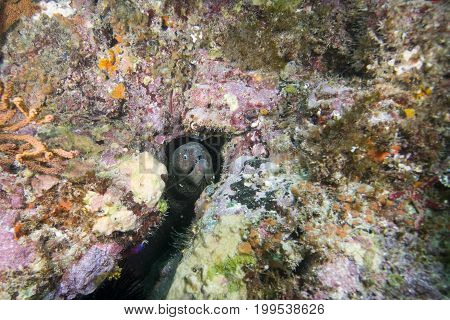 Moray Eel (Muraenidae) off Catalina island, CA