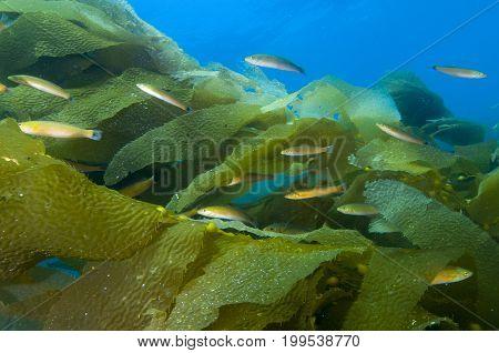 Fish among kelp fronds off Catalina Island, CA