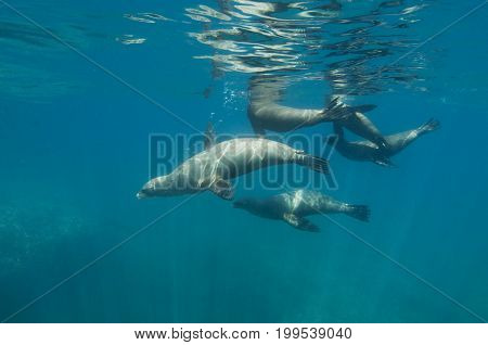 Group of California sea lions (Zalophus californianus)