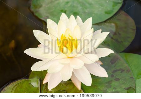 Beauty waterlily flower in a pond,religion symbol flower