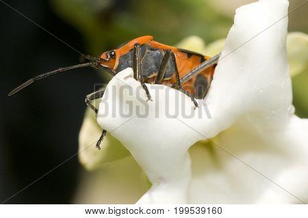 Small Milkweed Bug Lygaeus kalmii (plant bugs)
