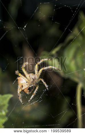 A garden spider climbing in it's web