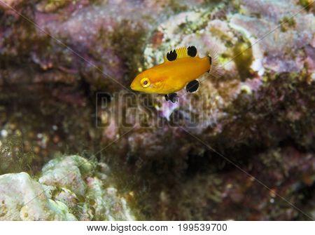 juvenile Sheephead fish in Pacific Ocean, California