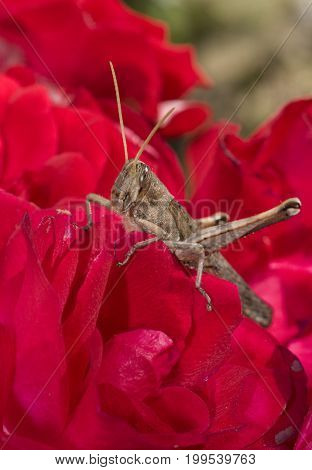 Grasshopper on top of a red garden rose