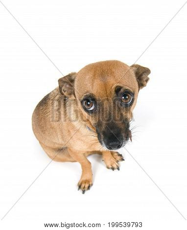 Guilty looking little dog isolated against white background