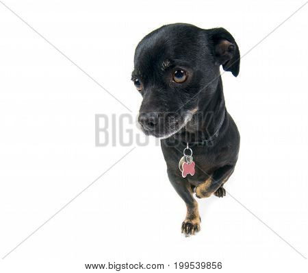 Little black dog looking guilty isolated against white background