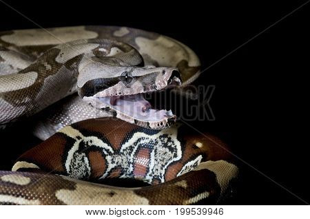Suriname Boa with it's mouth open against a black background