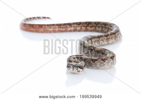T-positive Nicaraguan Boa (Boa constrictor imperators) against a white background