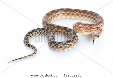 Cape Gopher Snake (Pituophis catenifer vertibralis) against white background