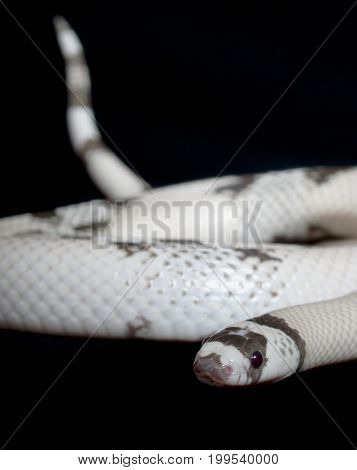 Coiling snake isolated agianst a black background