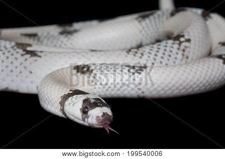 Hissing snake isolated against a black background