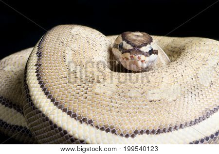 Super Stripe Ball Python (Python regius) against black background