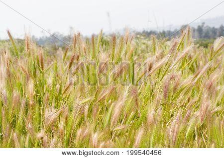A field of golden wild wheat (Triticum)