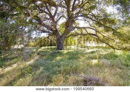 Large tree in field with afternoon sun