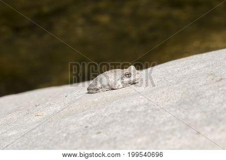 A wild grey Californian Treefrog by a creek