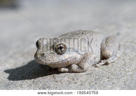 A wild grey Californian Treefrog blending into stone