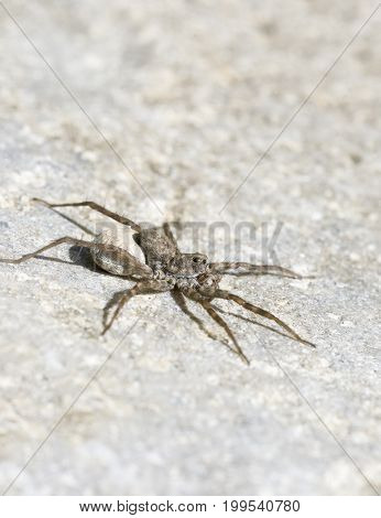Female Wolf Spider with egg sac crawling on a rock