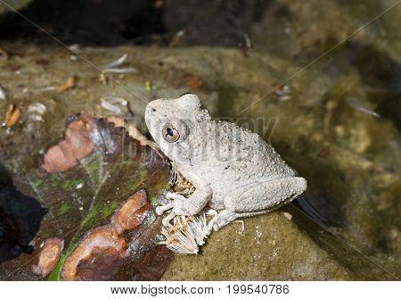 Full-body grey Californian Treefrog in the wild