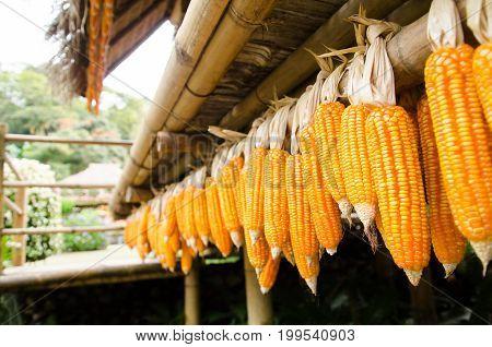 Dried corn cob hanging on bamboo wood