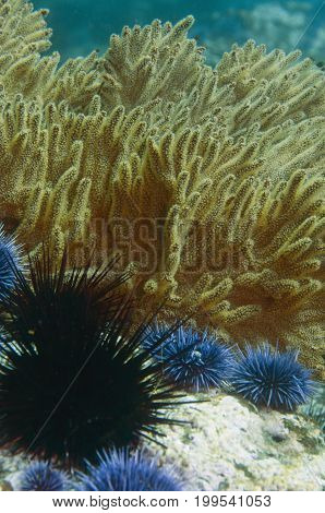 gorgonian, also called sea whip or sea fan surrounded by sea urchins