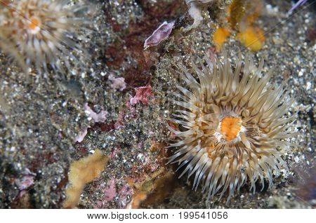 Sea Anemone in the Pacific Ocean, California
