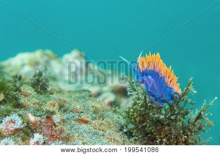 spanish shawl nudibranch in Pacific Ocean, California