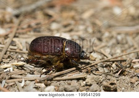 Geotrupidae earth-boring dung beetle in Southern California