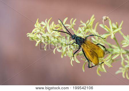 Tarantula Hawk wasp (Pepsis species) on South Kaibob Trail of Grand Canyon National Park, AZ.