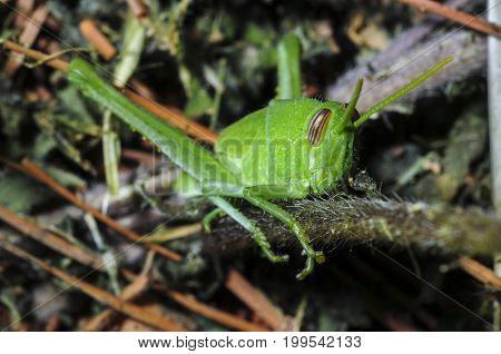 Bright green grasshopper close-up in native habitat