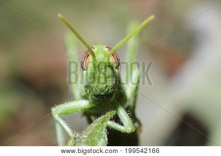 frontal view of grasshopper on a leaf